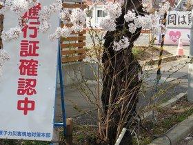 夜の森の桜