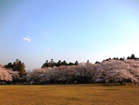 三神峯公園の桜