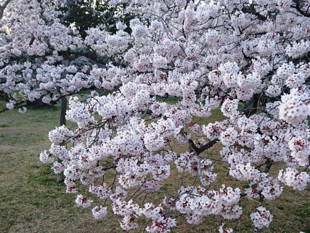 20200411三神峯公園桜2.JPG