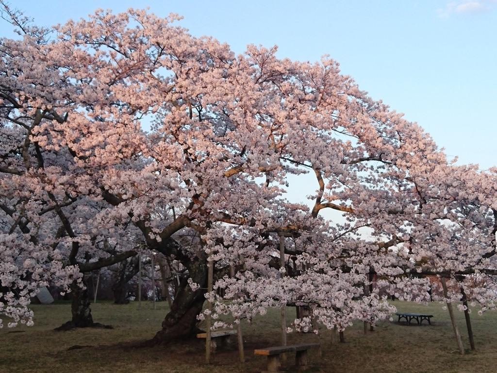 20200411三神峯公園桜3.JPG