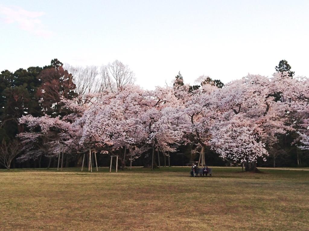 20200411三神峯公園桜5.JPG