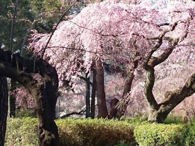 コロナ桜榴ヶ岡1.JPG