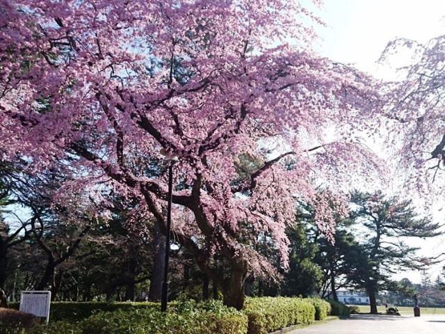 コロナ桜榴ヶ岡4.JPG