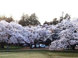 三神峯公園桜.JPG