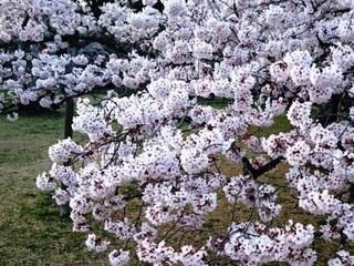 三神峯公園桜2.JPG
