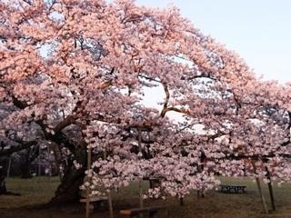 三神峯公園桜3.JPG