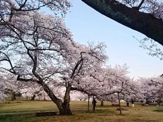 三神峯公園桜4.JPG