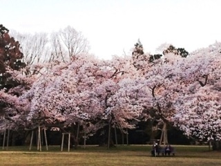 三神峯公園桜5.JPG