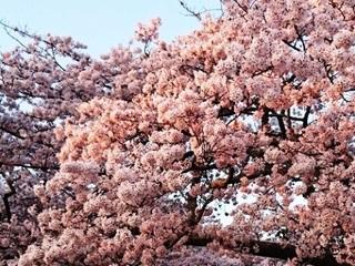 三神峯公園桜6.JPG