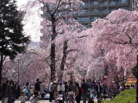 榴ヶ岡2009桜