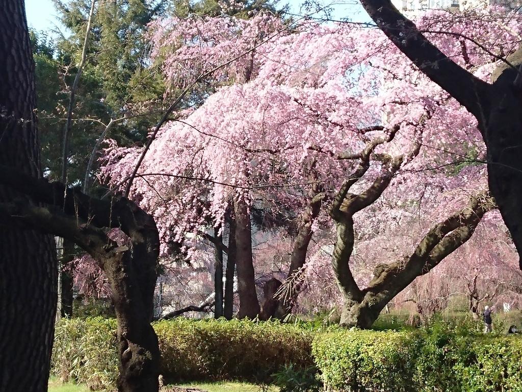 榴ヶ岡公園櫻1.JPG