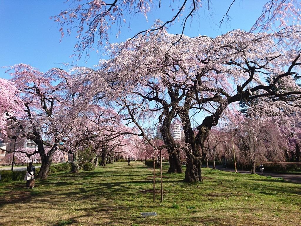 榴ヶ岡公園櫻3.JPG