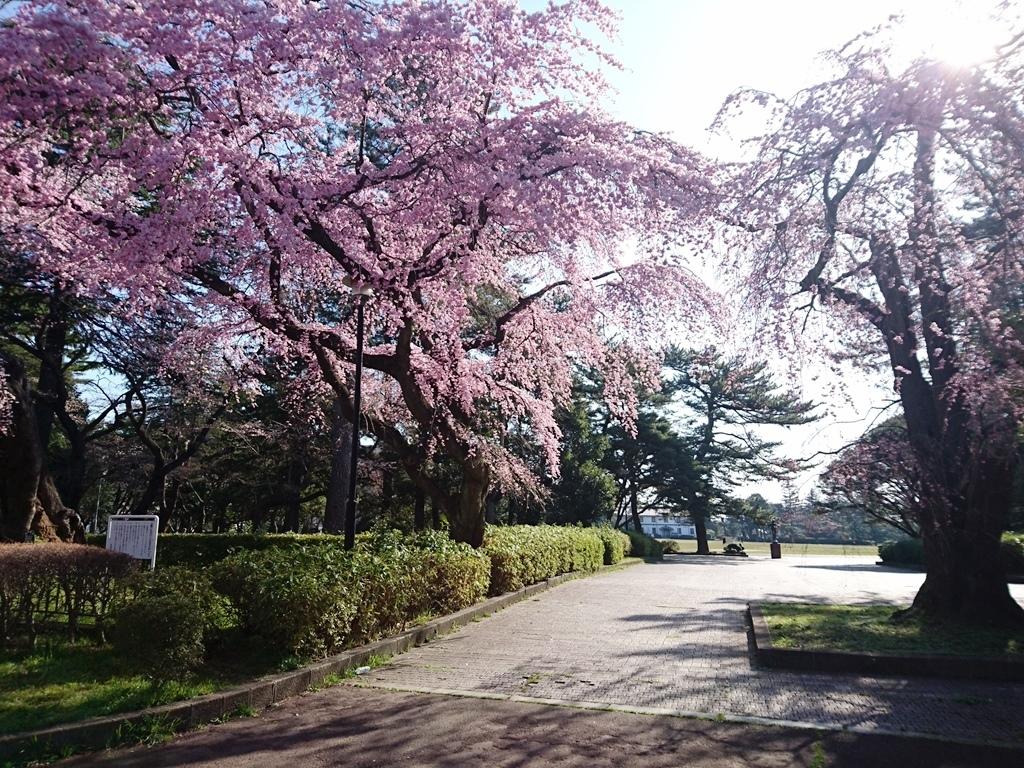 榴ヶ岡公園櫻4.JPG