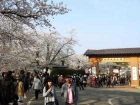 船岡城址公園 桜.jpg